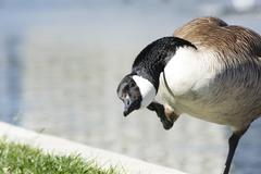 Canadian Goose Near Fountain - stock photo