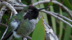 Anna's Hummingbird appears very ill 6 ECU Stock Footage