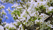 Stock Video Footage of Spring Garden Tree Blooming Branches Waved by Wind Crane Shot HD