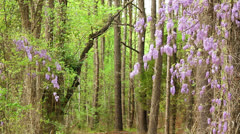 Wisteria nature trail forest Stock Footage