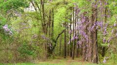 Wisteria nature trail Stock Footage