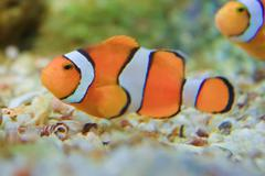 Anemonefish  in the aquarium of rayong province,thailand Stock Photos