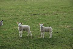Two little lambs Stock Photos