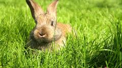 Adorable Bunny Rabbit Munching Grass HD Stock Footage