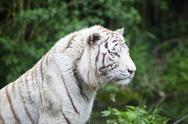 Stock Photo of white tiger