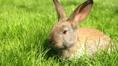 Cute Easter Bunny Rabbit Eating Grass HD Stock Footage