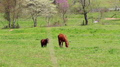 horse and pony in spring pasture - stock footage