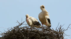 Storks in the nest Stock Footage