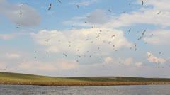 Caspian Gulls Stock Footage