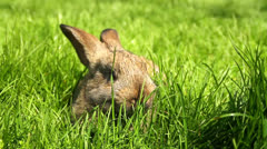 Adorable Bunny Rabbit Munching Grass HD Stock Footage