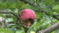 Stock Video Footage of Fly on Rotting Red Apple on a Tree