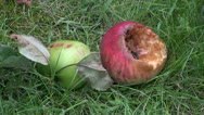 Stock Video Footage of Rotting Windfall Apples with Insects