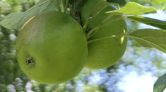 Hanging Green Apples Stock Footage