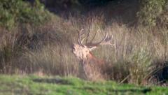 Red deer stag roaring in breeding season. Stock Footage