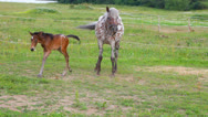 Stock Video Footage of Small brown foal and spotty mare in a shelter