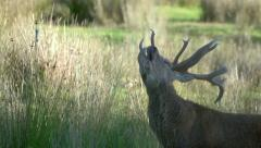 Red deer stag give a load call. Stock Footage