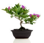 Bougainvillea bonsai Stock Photos