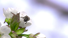 Flying Bee Stock Footage