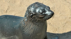 Young sea lion at cape cross Stock Footage