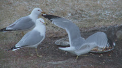 Close up of seagulls eating in snowy weather Stock Footage