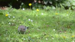 Eurasian Jay on a green meadow Stock Footage