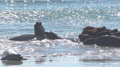 Elephant Seals playing in waves Stock Footage