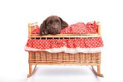 Labrador retriever puppy in a crib Stock Photos