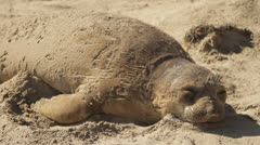 Elephant Seal sneezes whilst sleeping on beach Stock Footage