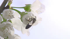 Bee on a Flower Cherry HD Stock Footage