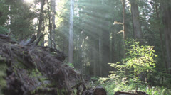 Sun Beams through the Forest in The Redwood National Park 3 Stock Footage