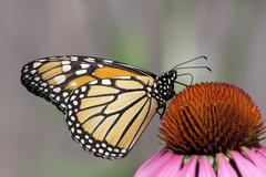 monarch butterfly (danaus plexippus) - stock photo