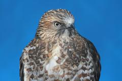 Broad-winged hawk Stock Photos