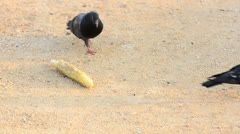 pigeon eating rubbish corn - stock footage