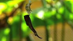 S/M Stunning active Butterfly Archaeprepona demophon gulina CATERPILLAR Stock Footage