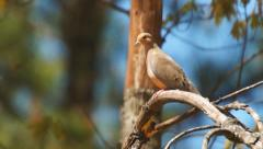 Mourning Dove - stock footage