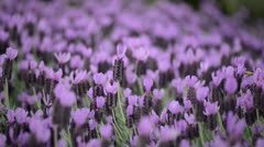 Purple Lavender Blowing in the Wind - stock footage