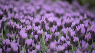 Stock Video Footage of Purple Lavender Blowing in the Wind