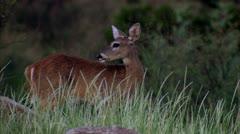 deer - stock footage