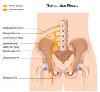 The lumbar plexus Stock Illustration