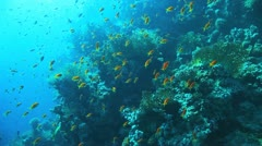 clouds of anthias at the reef - stock footage