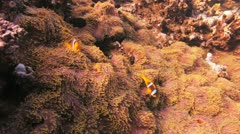 divers swimming behind a cloud of anthias - stock footage