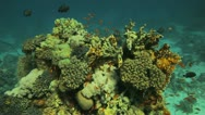 Stock Video Footage of gaint clam covered by red anthias  at the reef