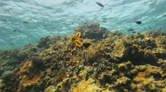 Banner fish feeding on Jelly fish Stock Footage