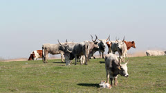 Podolian cows and calf on pasture Stock Footage