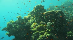 pillar of coral covered by red anthias - stock footage