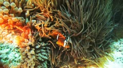 couple of clown fish chill on the anemone - stock footage