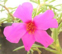 pink common purslane flower - stock photo