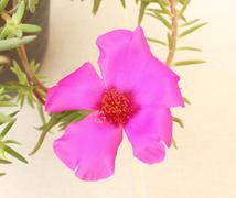 Pink common purslane flower Stock Photos