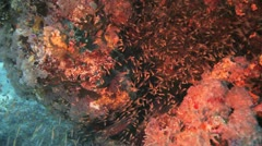 red mouth grouper feeding on the glass fish - stock footage
