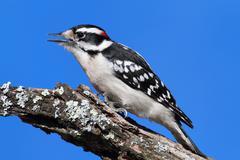 male downy woodpecker (picoides pubescens) - stock photo